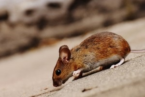 Mouse extermination, Pest Control in Heston, Osterley, TW5. Call Now 020 8166 9746