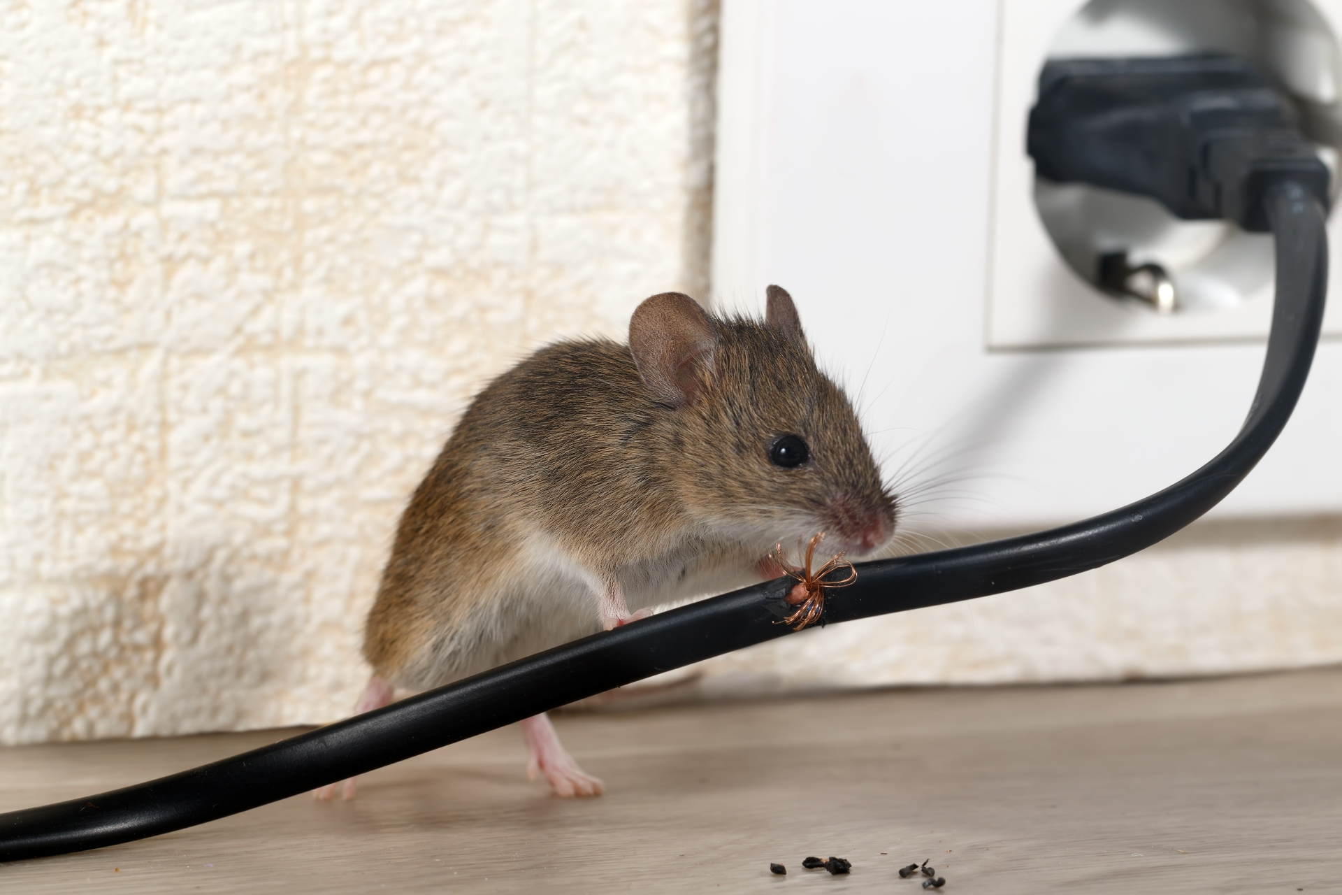 Mice Infestation, Pest Control in Heston, Osterley, TW5. Call Now 020 8166 9746