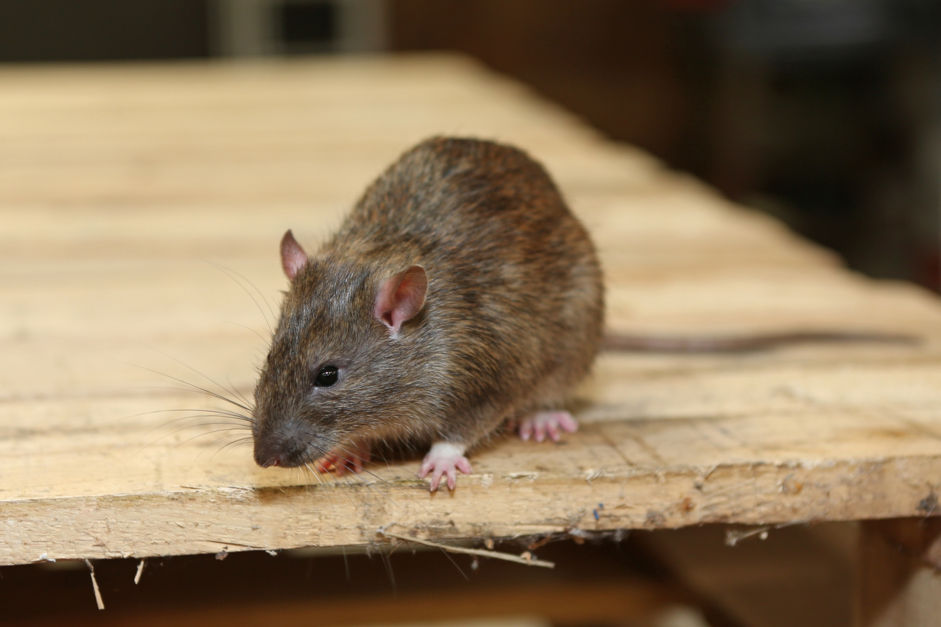 Rat Infestation, Pest Control in Heston, Osterley, TW5. Call Now 020 8166 9746