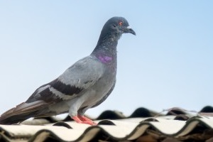 Pigeon Pest, Pest Control in Heston, Osterley, TW5. Call Now 020 8166 9746